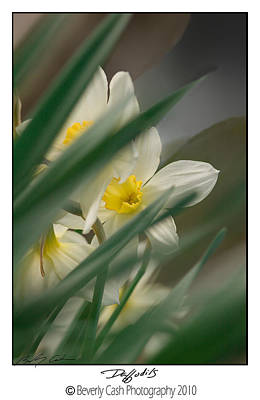 Photograph -  Daffodils by Beverly Cash