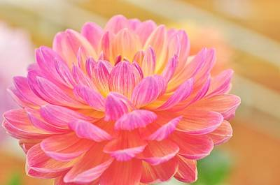 Photograph -  Dahlia  by Puzzles Shum