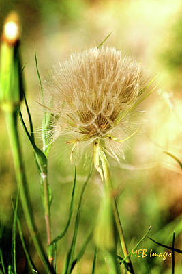 Photograph -  Dandelion Flower by Margaret Buchanan