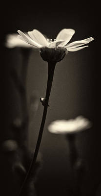 Abstract Flowers Royalty-Free and Rights-Managed Images -  Dark Daisy  by Stelios Kleanthous