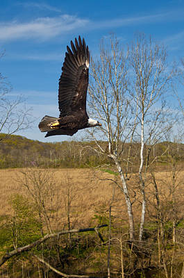Art Print featuring the photograph  Eagle Circleing Her Nest by Randall Branham