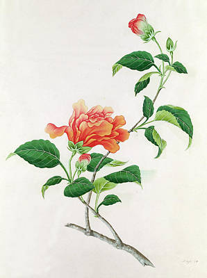 Rose Branch Painting -  Hibiscus by Georg Dionysius Ehret