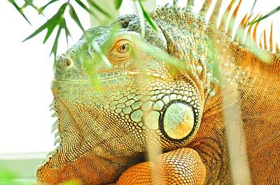 Photograph -  Iguana by Puzzles Shum
