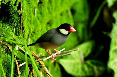Photograph -  Java Sparrow by Puzzles Shum