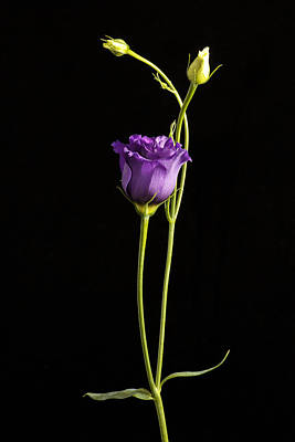 Photograph -  Lisianthus by Fiona Messenger