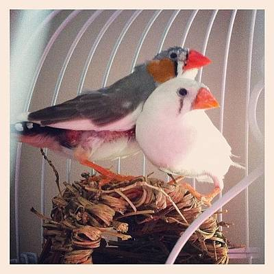 Finch Photograph -  Lovebirds by Lori Lynn Gager