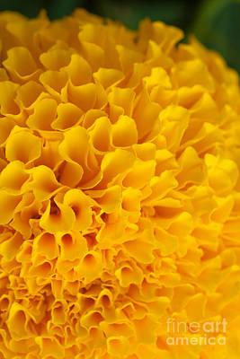 Marigold Macro View Original