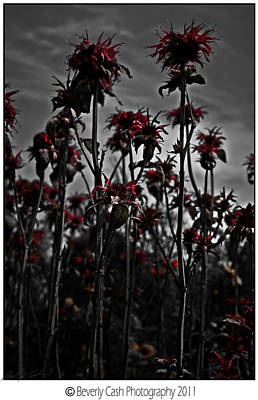 Photograph -  Mono Flowers by Beverly Cash