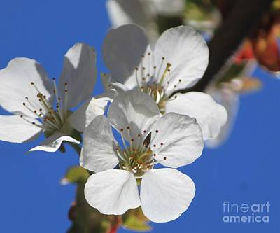 Photograph -  Opening Of The Cherry Blossoms   by Terri Thompson