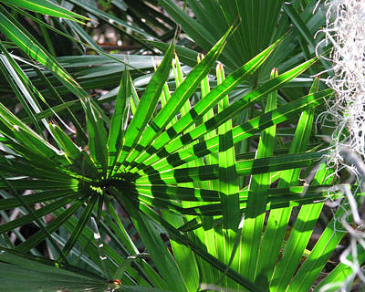 Photograph -  Palmetto Patterns by Peg Urban