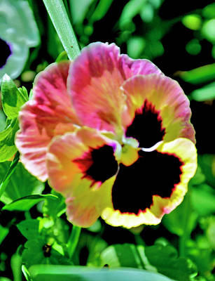 Art Print featuring the photograph  Pink And Yellow Pansy by Helen Haw