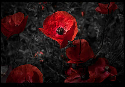 Photograph -  Poppy Red by Beverly Cash