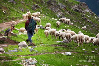 Photograph -  Shepherd At Work by Gualtiero Boffi