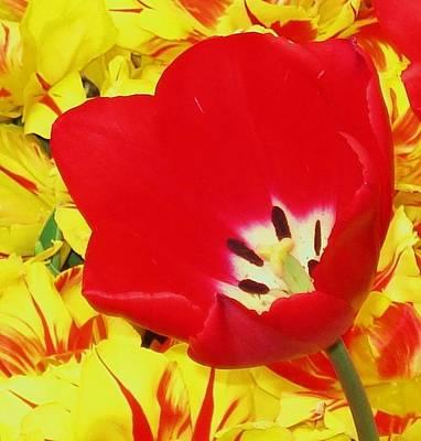 Single Red Tulip Art Print by Jolie Maybaum