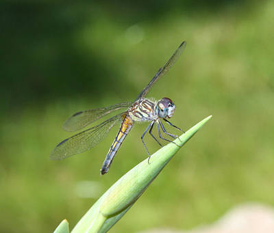 Tiger Dragonflies Photograph -  Sunbathing Dragonfly by Daphne Sampson