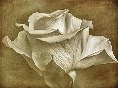 Photograph -  Textured White Rose  by Fiona Messenger