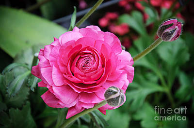 Photograph -  The Essence And Elegance Of Pink by Andee Design