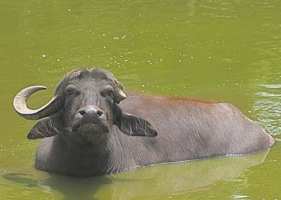 Photograph -  Water Buffalo At Middleon Place Plantation by Jeanne Kay Juhos