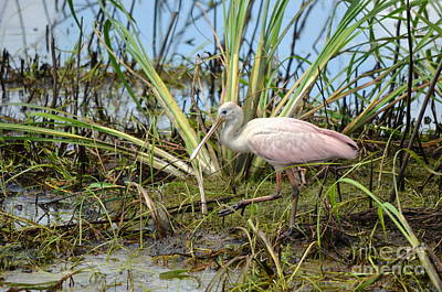 Young Roseate Spoonbill Art Print by Kathy Gibbons