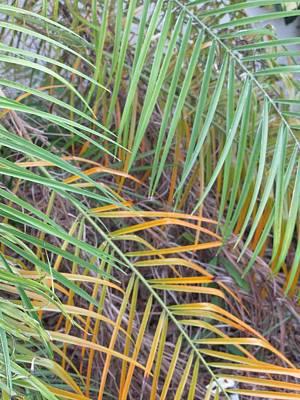 014 Palm Leaves Art Print by Carol McKenzie