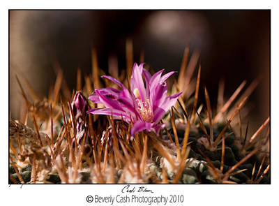 Photograph -  Cacti Bloom by Beverly Cash