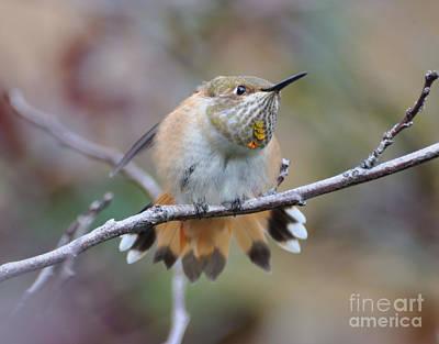 Hummingbird Stretch Four Art Print