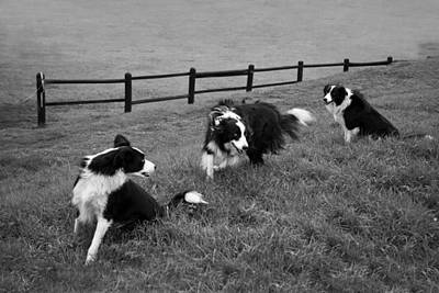 Photograph - 3 Collies by Miguel Capelo