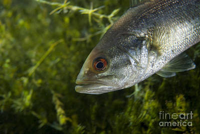Largemouth Photograph - A Close-up View Of An Adolescent by Michael Wood