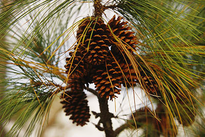 Pine Needles Photograph - A Cluster Of Long Leaf Pine Needles by Raymond Gehman