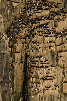 A Colony Of Little Auks Line Jagged Print by Norbert Rosing