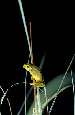 Big Belly Photograph - A Dainty Green Tree-frog Climbing by Jason Edwards