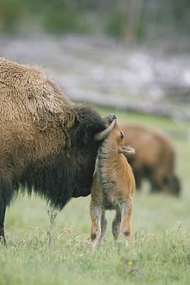 A Female Bison Bison Bison Stands Art Print by Tom Murphy