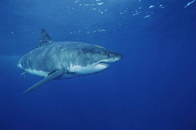 A Great White Shark Swims Art Print by Brian J. Skerry