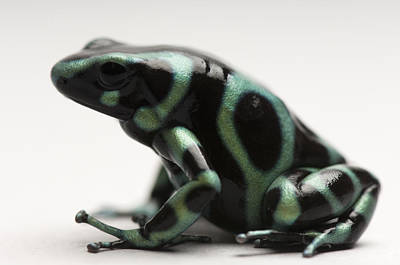 A Green-and-black Poison Dart Frog Art Print by Joel Sartore