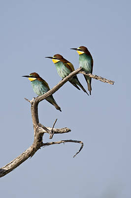 A Group Of Bee-eaters Resting On Branch Art Print by Roy Toft
