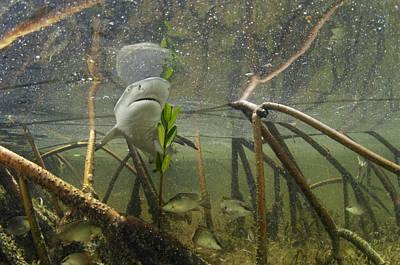 A Lemon Shark Pup Swims Among Mangrove Art Print by Brian J. Skerry