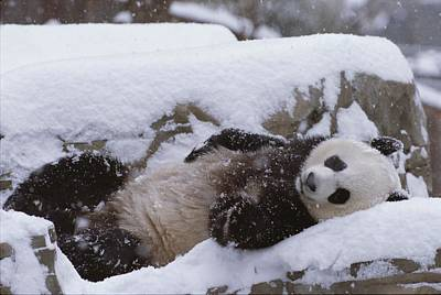 Natural Forces Photograph - A Panda In The Snow At The National Zoo by Taylor S. Kennedy