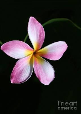 Photograph - A Pink Plumeria by Sabrina L Ryan