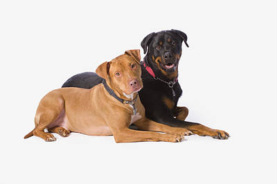 Pitbull Photograph - A Pitbull And A Rotweiller On A White by Corey Hochachka