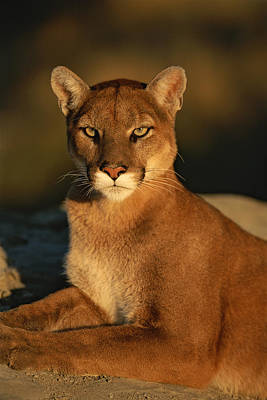 A Portrait Of A Mountain Lion Art Print by Norbert Rosing