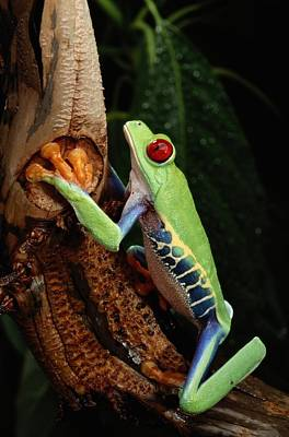 A Red-eyed Tree Frog Agalychnis Art Print by George Grall