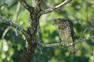 Buteo Lineatus Photograph - A Red Shouldered Hawk Perches In A Tree by Klaus Nigge