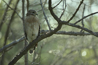 Buteo Lineatus Photograph - A Red Shouldered Hawk Perches On A Tree by Klaus Nigge