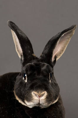 Captive Animal Photograph - A Rex Rabbit Oryctolagus Cuniculus Rex by Joel Sartore