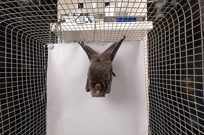 A Rodrigues Fruit Bat Pteropus Art Print