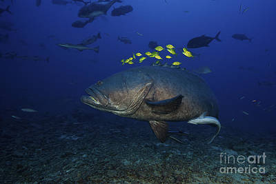 A School Of Golden Trevally Follow Art Print by Terry Moore