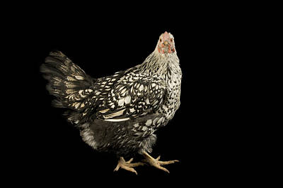 A Silver Laced Wyandotte Chicken Art Print by Joel Sartore