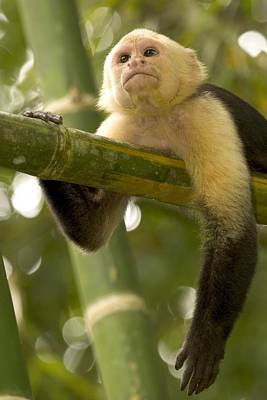 Osa Wall Art - Photograph - A White-throated Capuchin Monkey by Roy Toft