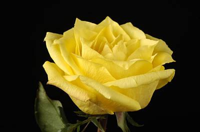 Rosaceae Photograph - A Yellow Rose Rosaceae by Joel Sartore