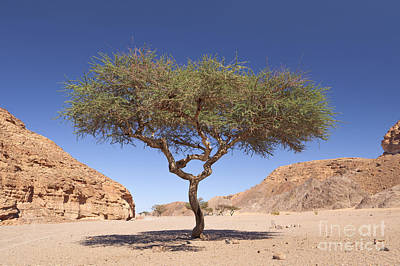 Balance In Life Photograph - Acacia Tree  by Roberto Morgenthaler